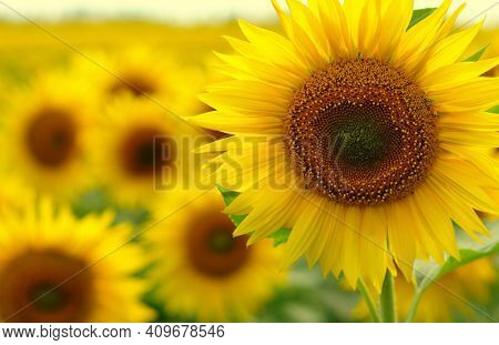 Sunflowers on a field blurred in sunlight