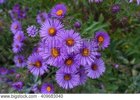 Florescence Of New England Aster In October
