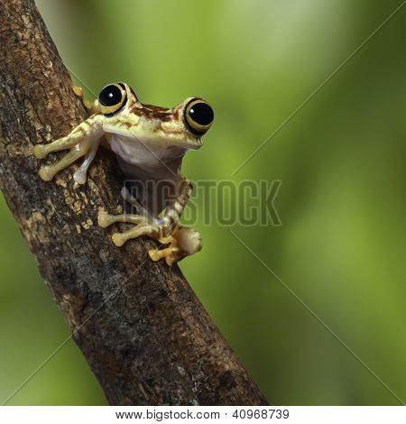tree frog Ecuador tropical Amazon rainforest treefrog on branch in exotic rain forest cute small amphibian and nocturnal animal