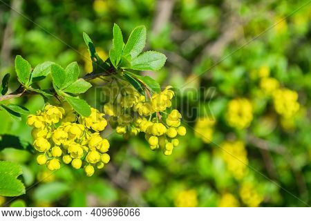 Blooming Barberry (latin: Berberis) In Garden. Yellow Flowers Barberry Close-up. Selective Focus, Sh