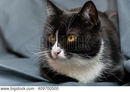 Beautiful Black And White Cat With Green Eyes And A Large White Mustache Sits On A Gray Background A