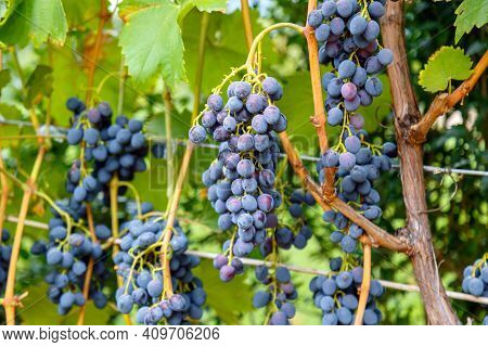Blue Grape Growing On Wine In Vineyard. Ripe Black Grape Fruit Harvest In Nature For Food And Vine I