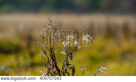 Dry Plant With Seeds On A Blurred Background Of Grass On A Sunny Day In The Meadow. Autumn Season. W