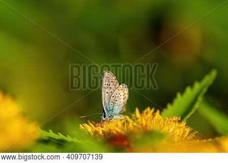 Beautiful Butterfly Collects Nectar On A Yellow Flower On A Blurred Green Background. Spring Season,