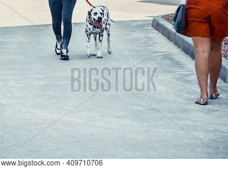 Dalmatian And Its Owner The Pavement. Funny Dog With Brown Spots Looks With Curiosity At Passer-by W