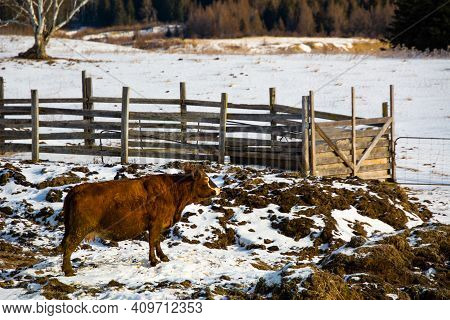 Pretty Cows In A Quebec Farm In The Canadian Coutryside