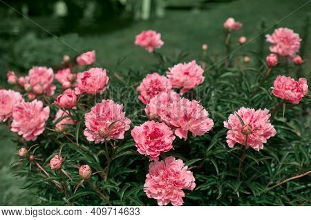 Beautiful Lush Bush Of Peonies In The Summer Garden. Flowers Of Unreal Pink Color. Beautiful Natural