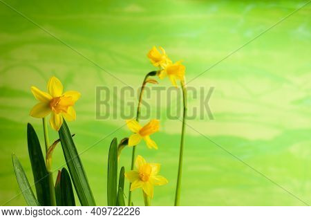 Close-up Of A Flower Head Of A Dwarf Daffodil In Front Of A Green Painted Wall