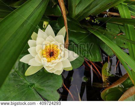 Beautiful Waterlily Flower, White Nymphaea, Lotus Blooming On Pond