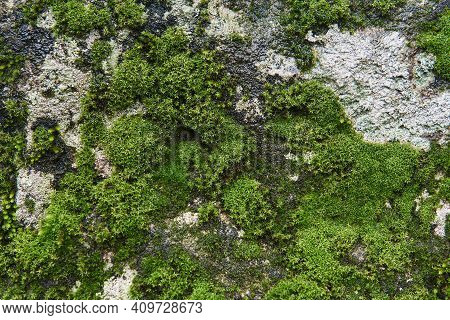 Background, Texture - Wet Rock Surface Is Covered With Moss And Algae