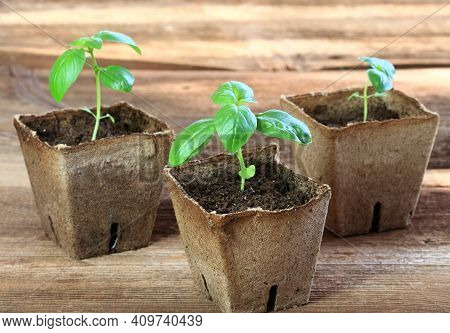 Young Basil Seedlings In Pots. Small Basil  In Biodegradable Pot On The Brown Wooden Table.