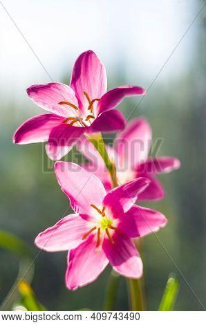 Decorative Pink Flower Rain Lily Zephyranthes Grandiflora On Blurred Background Closeup,