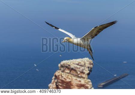 Wild Bird In The Wild Morus Bassanus - Northern Gannet On The Island Of Helgoland On The North Sea I