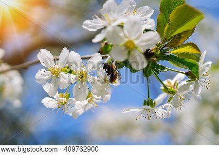 Honey Bee Collected Pollen Nectar On Cherry Flower. Flowers Japanese Blossom Cherry On Sakura Tree O