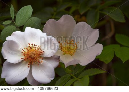 Blooming Rosehip Pink Plant. Macro Photo Nature Blooming Bud Dog Rose. Background Of Opened Buds Of