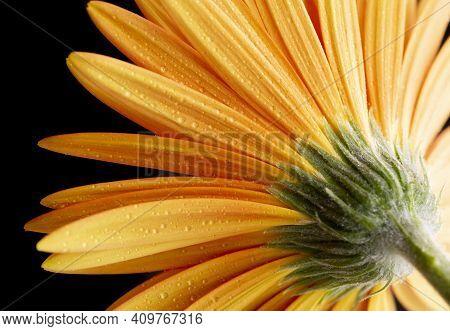 Closeup Of Orange Gerber Flower With Water Drops.