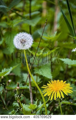 Dandelion On The Meadow.spring Day. Overgrown With Green Grass Meadow, Among The Grasses You Can See