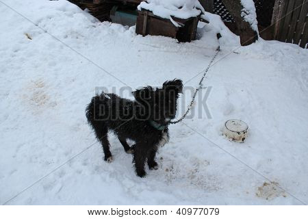 Black dog on a chain on a snow