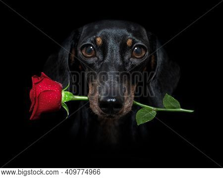 Sausage Dachshund  Dog Isolated On Black  Dramatic Dark Background On Valentines  , With Rose In Mou