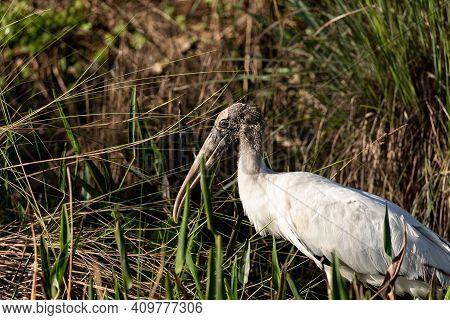 Foraging Wood Stork Mycteria Americana In A Marsh