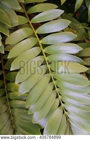 Light Green And Silver Color Leaves Of Spindle Palm Plant