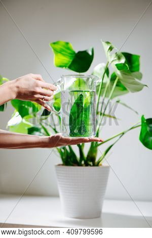 Female Hands Holding Water Jug In Front Of Beautiful Healthy Monstera In A Pot