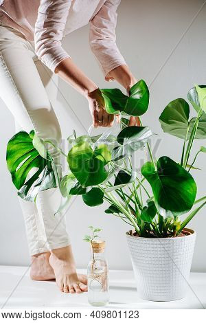 Barefoot Woman Watering Beautiful Healthy Monstera In A Pot On The Floor