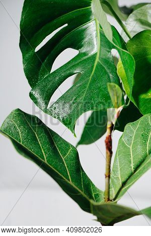 Moist Big Holed Monstera Leaf, On Top Of Stem With Smaller Leaves At The Bottom