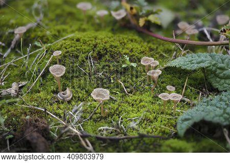 The Arrhenia Rickenii Is An Inedible Mushroom , An Intresting Photo