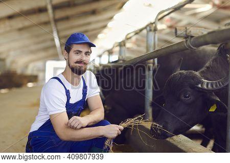 Positive Young Man Farm Worker Farmer In Blue Uniform A Sitting, Feeding Black Bulls With Dry Hay