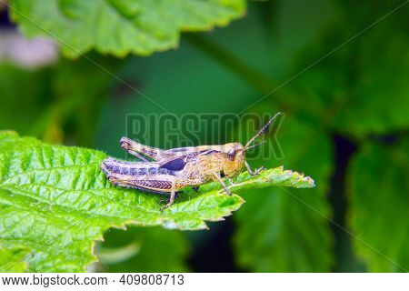 Agricultural Pest Grasshopper Or Locust Sitting On The Grass Close Up