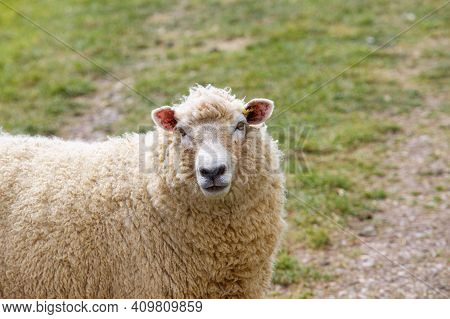 Female Sheep Looking At Camera On Green Background.