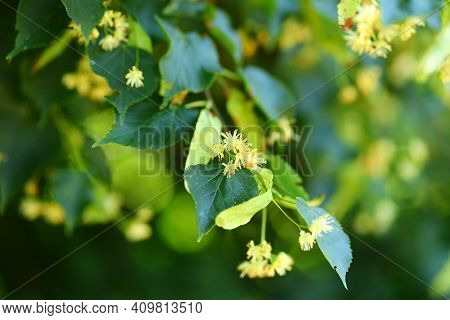 Linden Flower Close-up In Summer Plant For Tea And Honeydew