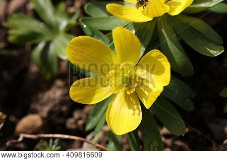 Eranthis Hyemalis Is A Plant Found In Europe
