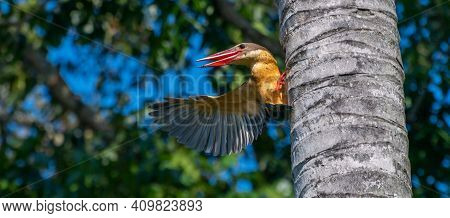 Stork Billed Kingfisher Grabs Onto A Palm Tree And Showing Off One Wing. Sharp Pointy Red Beaks Open