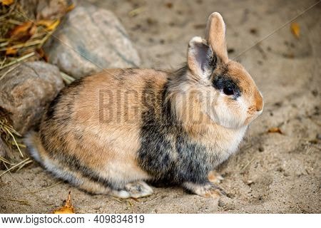 Full Body Of Grey-beige-white Domestic Pygmy Rabbit. Photography Of Lively Nature And Wildlife.
