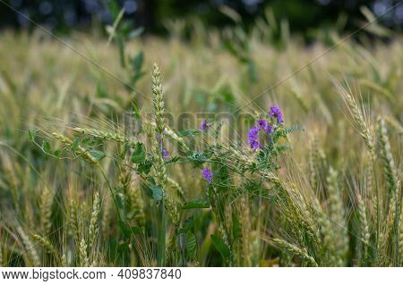 Wheat Ears Surrounded By Blue Wild Pea Flowers, Background Design