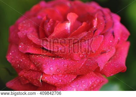 Closeup, Fresh Pink Rose. Beautiful Perfect Pink Rose With Dew Drops On The Petals. Beautiful Summer