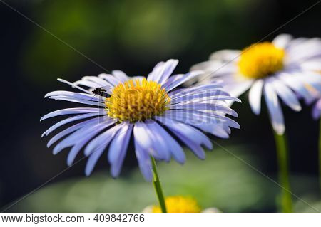 Flowers Of Blue Chamomile. Purple Meadow Flowers. Big Chamomile In The Garden, In The Flowerbed. Clo