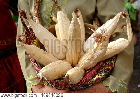 Dry Corn With Skin That Is Harvested Directly From The Tree, Dry Corn Is Ripe On The Tree, Dry Corn