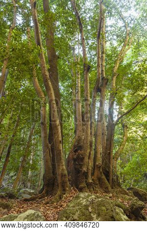 Trunks Of Trees In A Linden Forest On The Island Of La Palma, Canary Islands, Spain, Next To The Nac