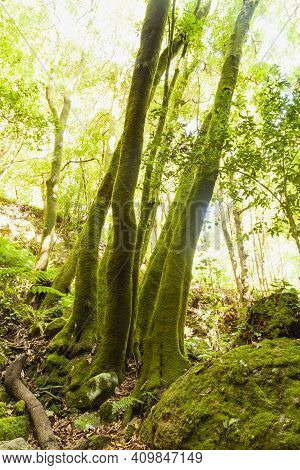 Trunks Of Trees Covered With Green Moss In A Linden Forest On The Island Of La Palma, Canary Islands