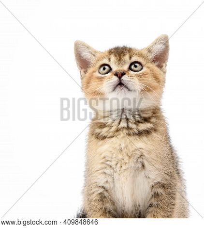 Kitten Golden Ticked Scottish Chinchilla Straight Sits In Front On A White Background, The Cat Looks