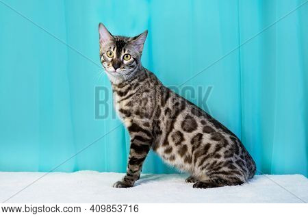 Purebred Bengal Cat, Leopard Color. Photo Of A Cat Sitting In The Studio