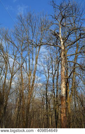 Bare Trees In Forest In Early Spring.