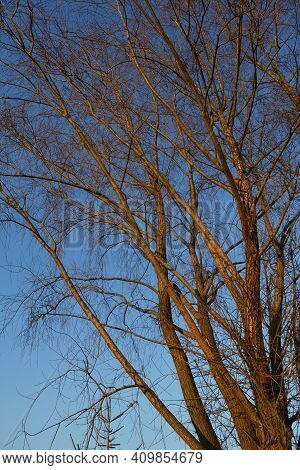 Willow Tree Illuminated By Sunset Sun Against Blue Sky. Bare Branches In Early Spring.