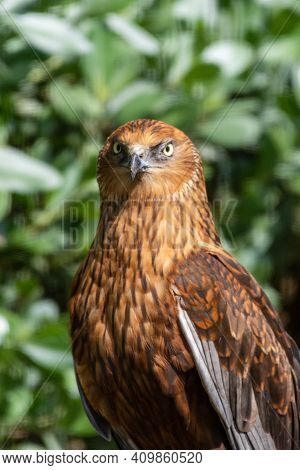 A Close Up Portrait Of A Male Western Marsh Harrier (circus Aeruginosus) Out A Small Raptor Standing
