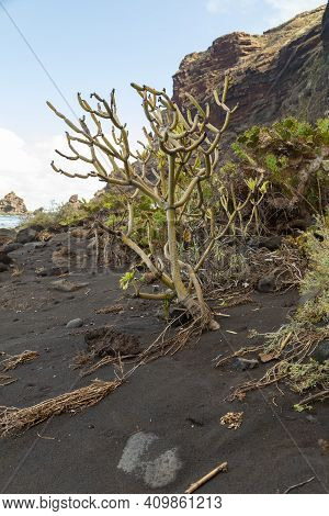 Specimen Of Kleinia Neriifolia On The Beach Of Nogales, Known In Spanish As Verode Or Berode, Is A S