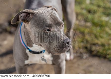 Female Pitbull Terrier Puppy Is Watching Something Of Interest On A Vibrant Sunny Day In Her Backyar
