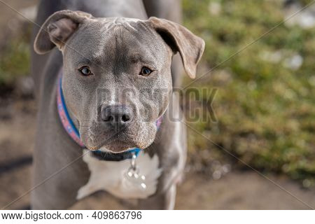 Pitbull Puppy Is Watching You On A Sunny Day In Your Backyard
